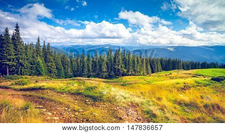 Forrest of green pine trees in Carpathian mountains, Ukraine