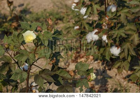 Yellow Cotton Fowers 1