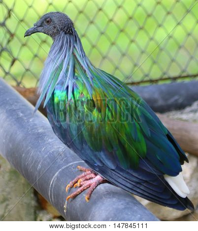 female Nicobar Pigeon perching on pipe in aviary near Songkhla, Thailand