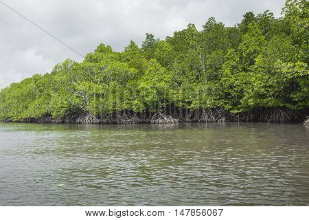 Mangrove tree at Havelock island Andaman and Nicobar India