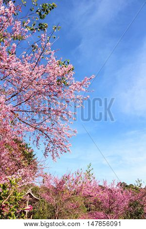 Wild himalayan cherry (prunus cerasoides) at Chiangmai Thailand. background mountian and sky