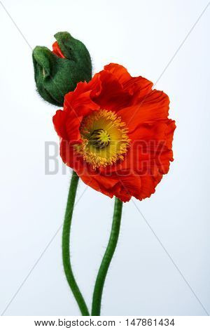 poppies Isolated on white background .  floral ,