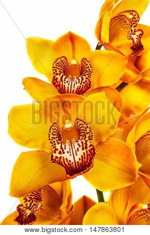 yellow orchid isolated on white background .