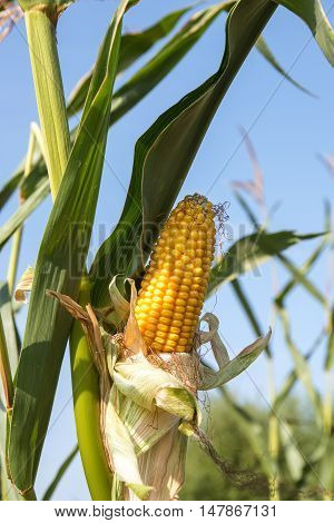 ripe corncob in the corn field just before the harvesting on a sunny day against a blue sky