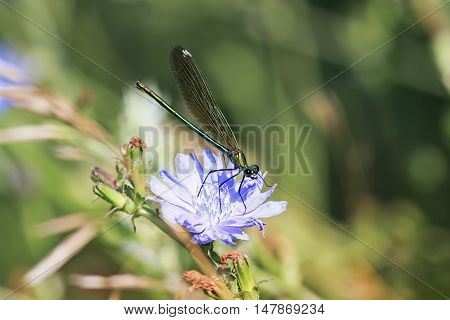 small black dragonfly sitting on a blue chicory flower