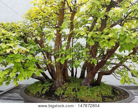Detailed Bonsai and Penjing landscape with miniature forest of deciduous quince trees in a tray