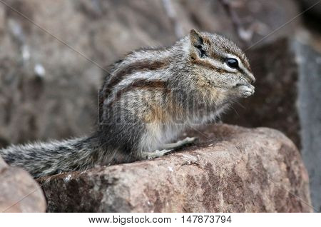 A Least Chipmunk on a rock eating seeds in Eastern Washington