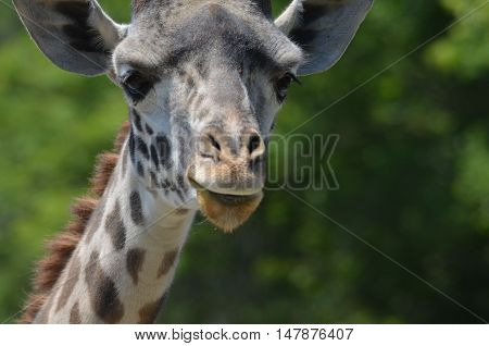 A great look at the face of a giraffe up close and personal.