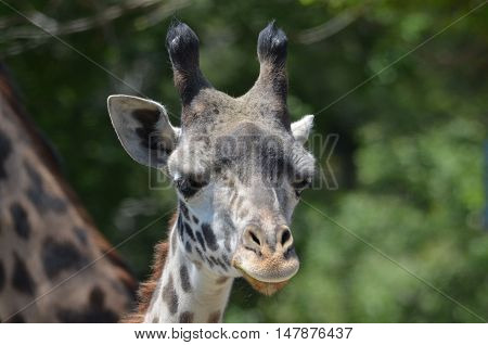 Cute face of a young giraffe in the wild