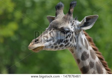 Great look at the face of a giraffe in the wild.