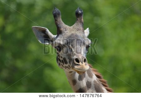 Great looking face of an adorable giraffe.