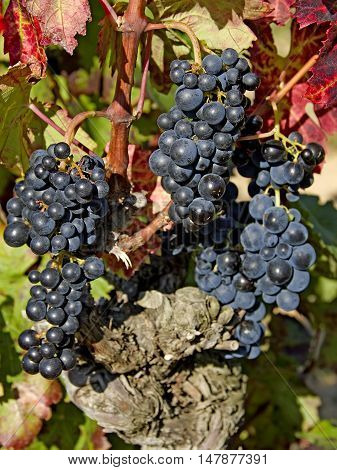 ripe blue grapes in the languedoc in south france