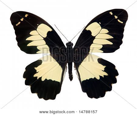 tropical black and light yellow butterfly isolated on white background