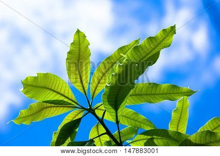 Close up leaves of mango tree with blue sky background