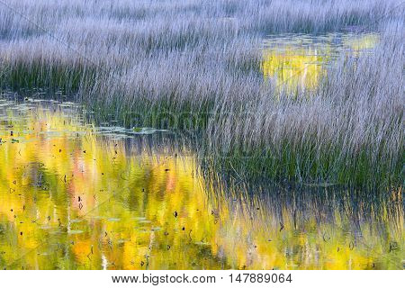 Autumn Reflections in Pond with Grass Plants