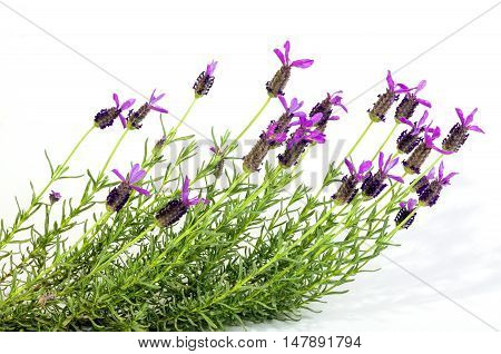 French Lavender Plant With Vivid Purple Flowers