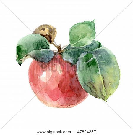 Single bright red watercolor apple with leaves. Sketch. Watercolor illustration