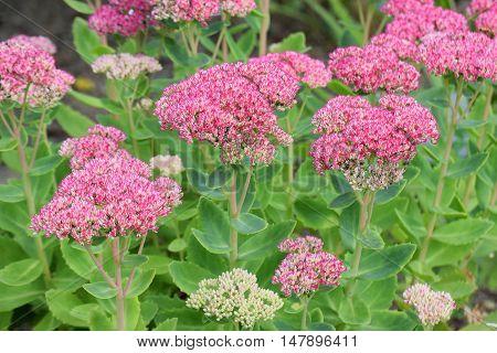 Flowers of Stonecrops, Crassulaceae sedum herbstfreude on Autumn.