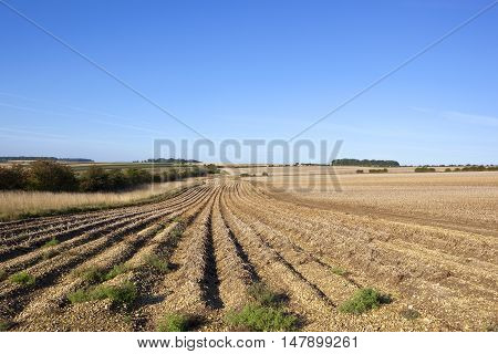 Potato Rows In Late Summer