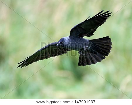 Western jackdaw (Corvus monedula) in flight with vegetation in the background