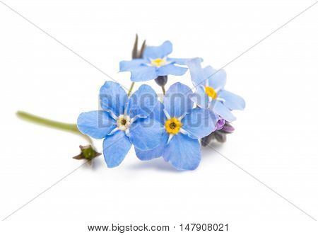 blue forget-me-not flowers isolated on white background