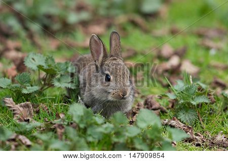 Wild Common Rabbit (Oryctolagus Cuniculus) in long grass at the edge of a forest