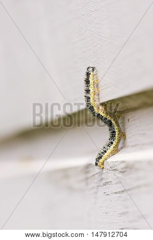 Closeup of yellow butterfly larva climbing on a timber wall