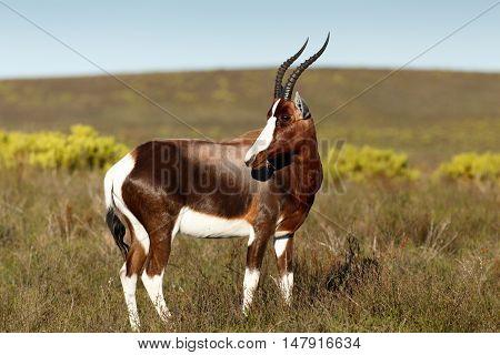 Bontebok Standing And Eating Grass