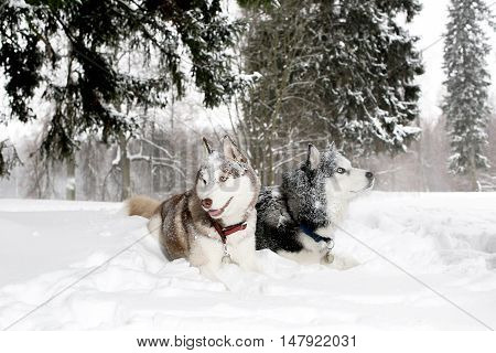 Two Adult Dogs Play In The Snow Snow Husky. Age 3 Years