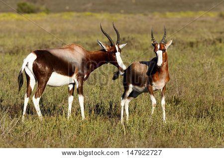 Bontebok Smelling Each Other