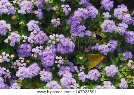 Colorful Flower beds of unusual purple perennial herb the family Asteraceae - Floss-flower or Ageratum houstonianum ageratum Mexican