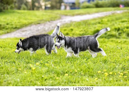 Two husky puppy on poala. In the summer