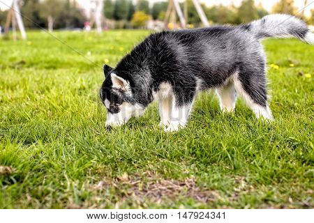 The husky puppy sniffing the grass. side view