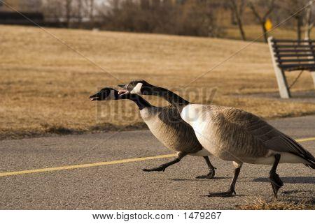 Geese On Bike Path