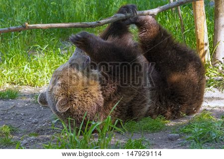 Brown Bear Play