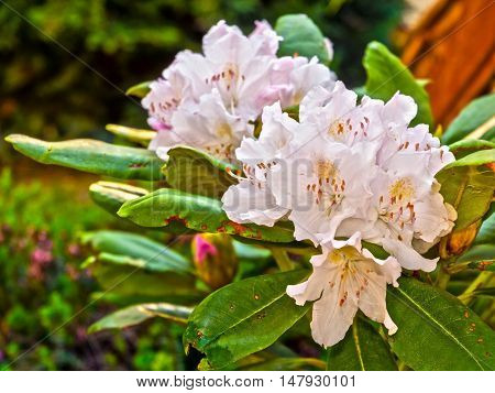 Flowers Of Rhododendron
