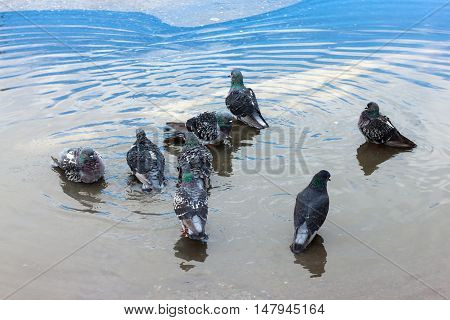 Urban pigeons bathe in the blue puddle.