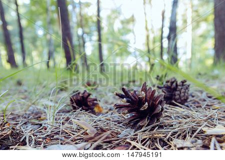 Fir cones on the forest floor background
