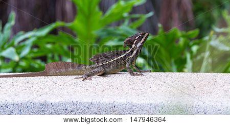 Male Brown Basilisk Lizard