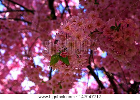 beautiful pink flowers blossoming on a tree