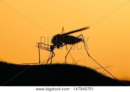 Backlit Anopheles Mosquito feeding on human arm
