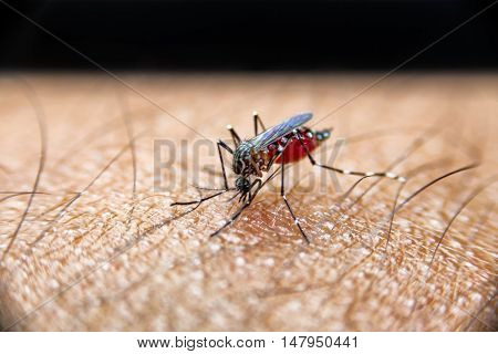 Mosquito Sucking Blood On Human Skin., Mosquito Is Carrier Of Malaria, Encephalitis, Dengue And Zika
