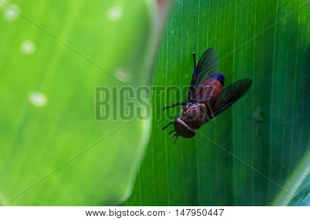 Large Horse Fly