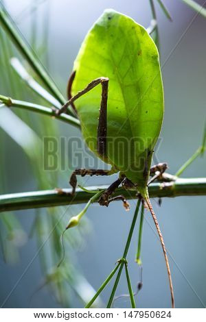 Green Leaf Bug - Katydid