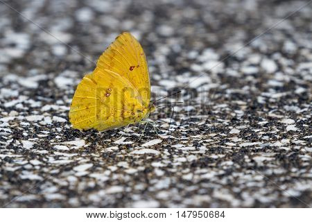 Small Yellow Butterfly