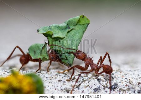 Leafcutter Ants With A Dead Leaves
