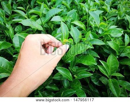 Close up of hand picking tea leaf