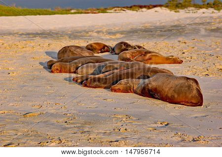 Colony of sea lions sleeping in sunset light on the beach at Cero Brujo, on San Cristobal Island, Galapagos