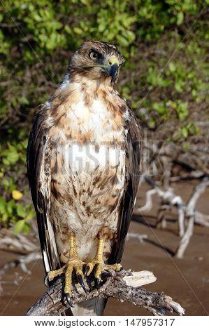 Galapagos Hawk, on Santiago Island, Galapagos Islands, Ecuador