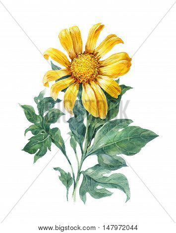 watercolor illustration painting of Yellow flower sunflower on white background